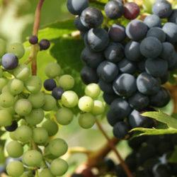 ¿Uvas blancas o negras?
